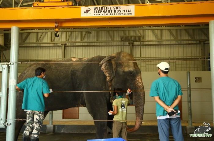 Arya's preliminary medical assessment at the Elephant Hospital where her keeper is making her comfortable with watermelons.