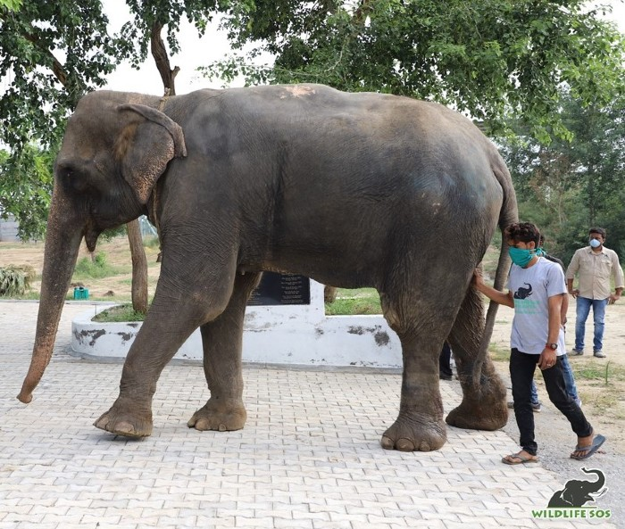 Arya took confident strides off the Elephant Ambulance with our elephant care staff close to her to guide her!