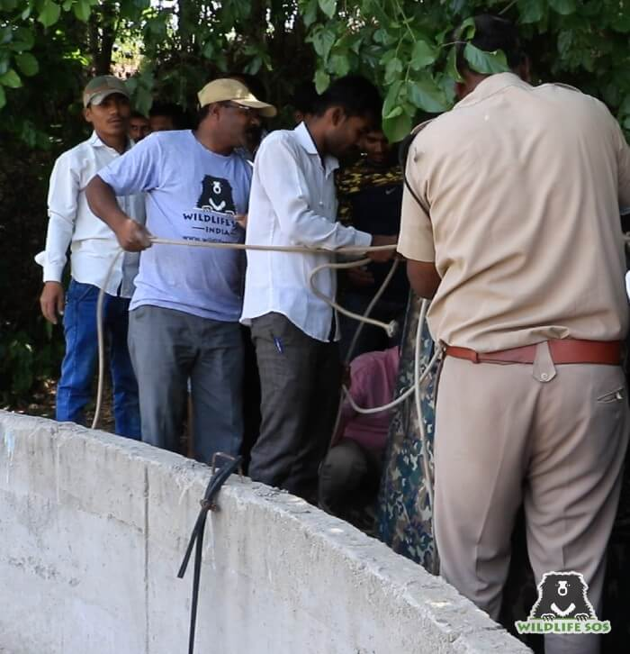 Shivaji Modhe has assisted the team in the rescue and release of leopards in distress