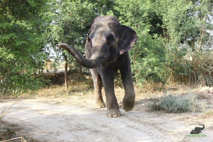 The oldest elephant of the youngest Nut Herd, presenting our dear Mac!