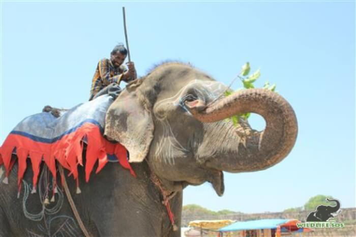 Raju was rescued as a begging elephant and displayed intense stereotypy in his initial days after rescue.