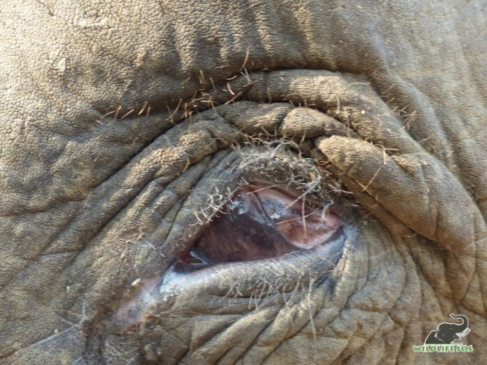 Elephants are often blinded on purpose by their owners to gain more sympathy.