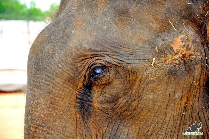 Rescued elephant, Suzy, is completely blind and is the oldest female elephant under our care.