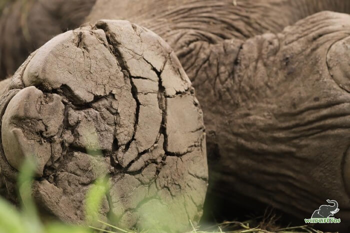 Cracked foot pads due to walking on unnatural surfaces, leave an elephant in immense pain.