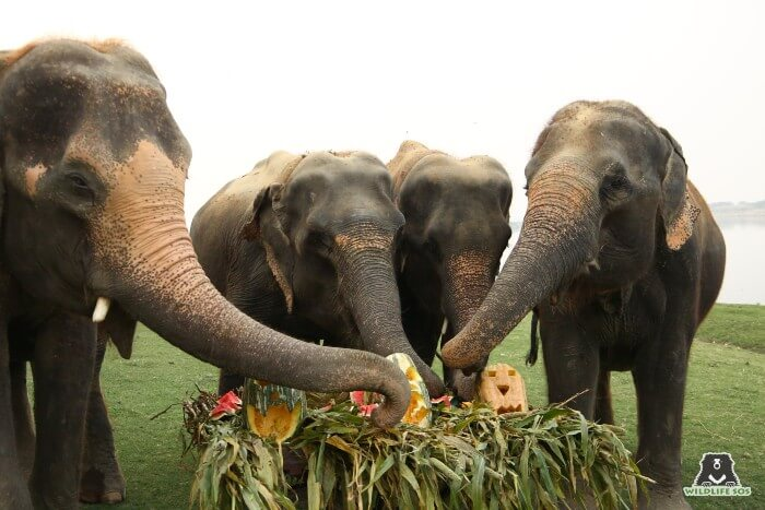 Karma, Holly, Zara and Kalpana (L to R) were delighted to see munch down the pumpkins