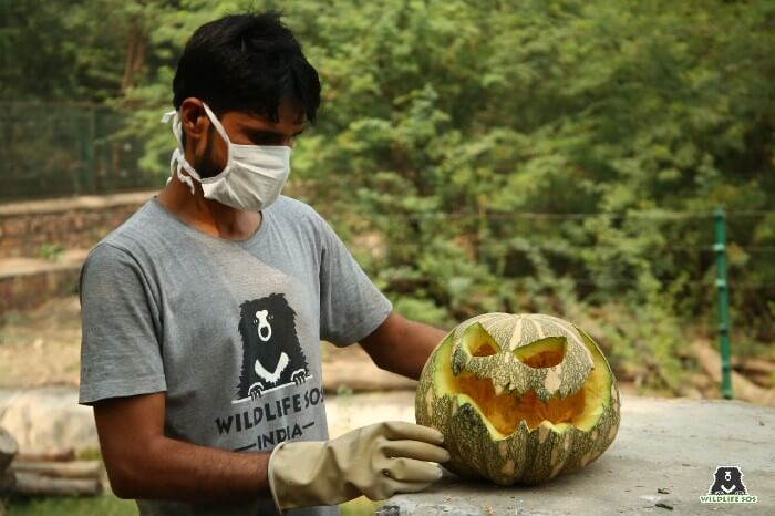 Our bear care staff enthusiastically carved spooky-looking pumpkins for the rescued sloth bears!