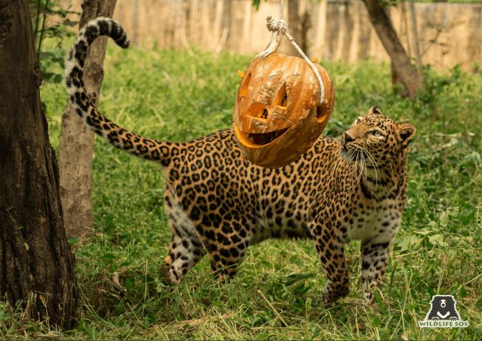 Jiya carefully examining the carved pumpkin before a playful tussle!