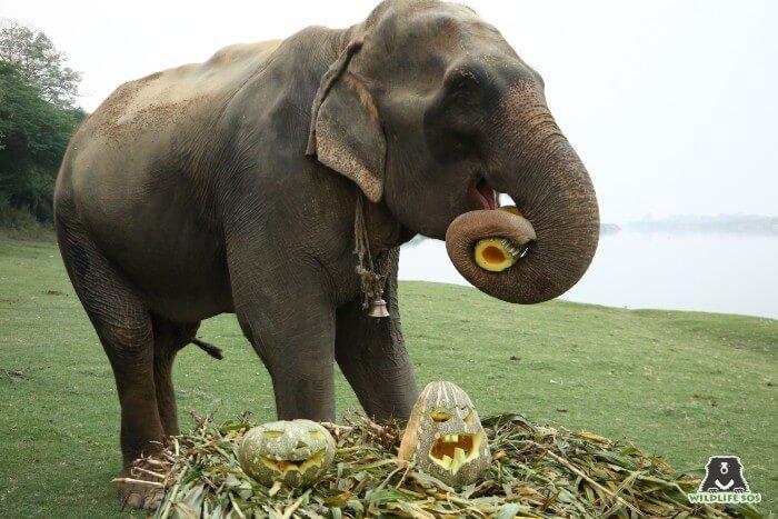Arya's first Halloween celebrations at Wildlife SOS!