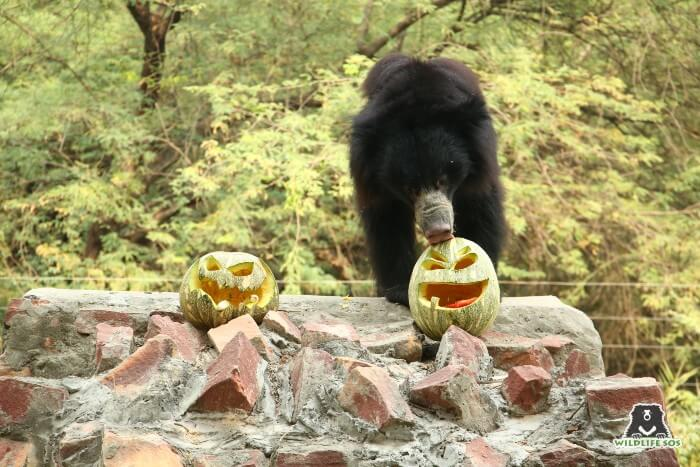 Mowgli curiously licked the jack-o-lanterns and started playing around with them!