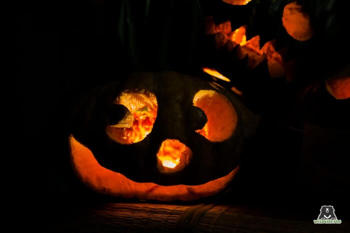 The spooktacular jack-o-lanterns were carved by our bear care staff!