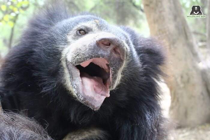 As a dancing bear, Maharani's teeth were smashed and her muzzle held scars of her painful past.