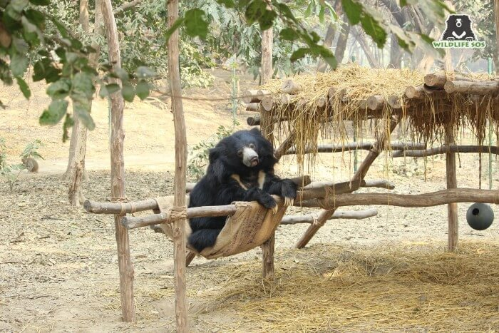 Maharani was a sight to sore eyes as she would spotted gracefully resting on her hammock!