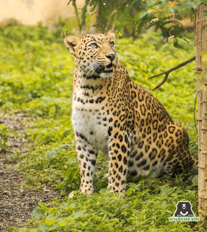 Shivaji Modhe has immense experience in caring for geriatric leopards.