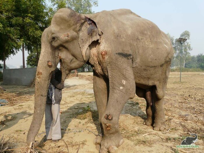Bhola, immediately after he was brought to the Elephant Conservation and Care Centre.
