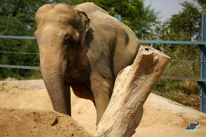 Bhola's enclosure has high mud beds for his support and rest.