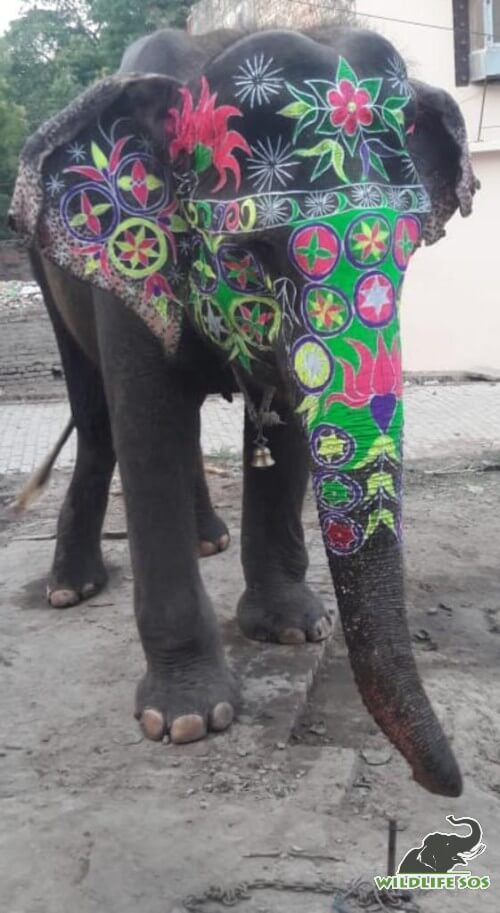 Painted in bright colours, Holly was forced to parade around the city.