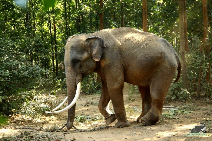 Ramu weighed 1910 kgs only - malnourished and reserved in nature.