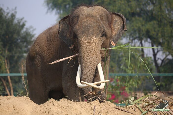 High mud-beds are created in his enclosure to allow him to rest.