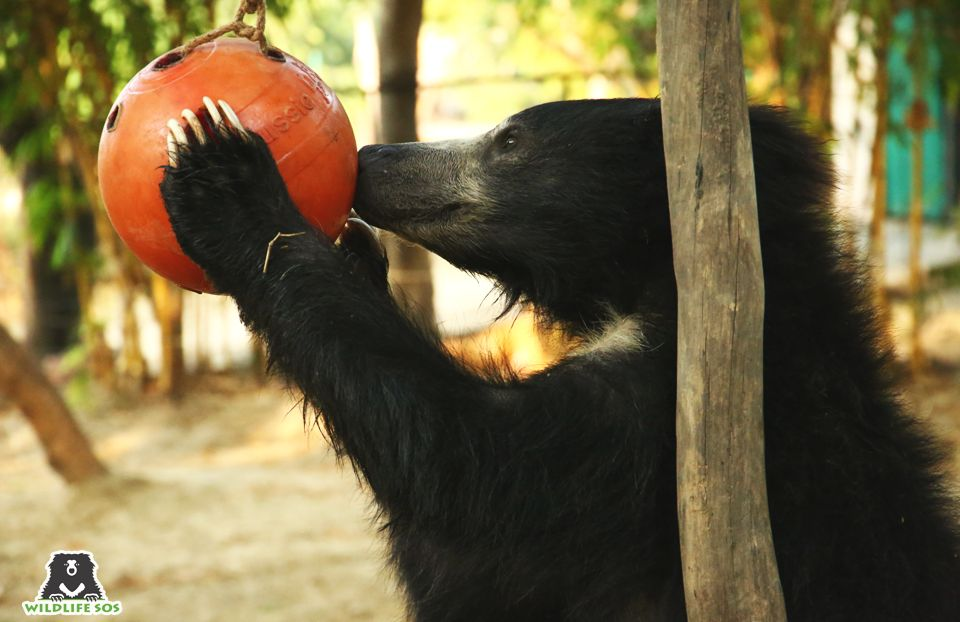 The feast included watermelons and enrichment balls filled with honey, which were polished off within minutes.