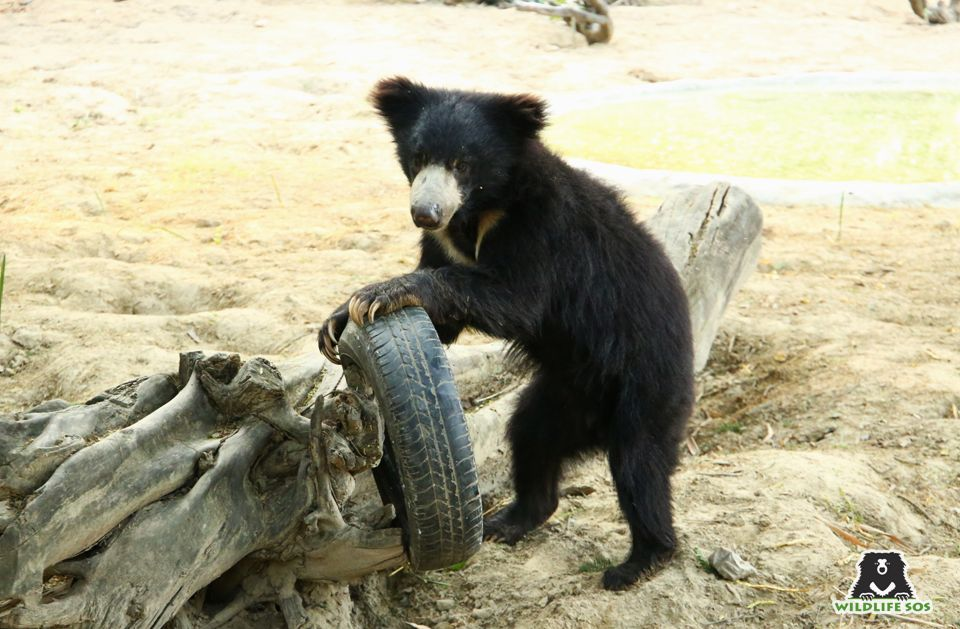 Sloth bears are incredibly fast moving and agile, like Ginny pictured here.