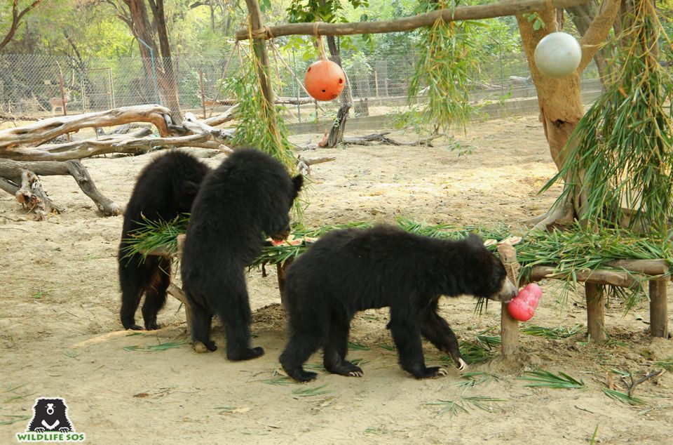 The Weasleys are the perfect example of how active sloth bears actually are!