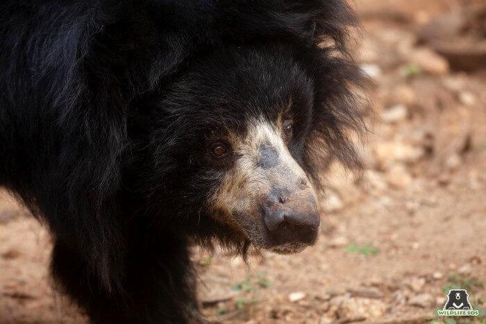 Chitra was rescued as a dancing bear from Karnataka.