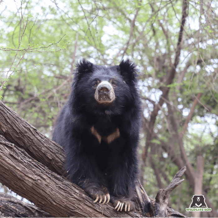 Ranjan is Deenanath's favourite sloth bear!