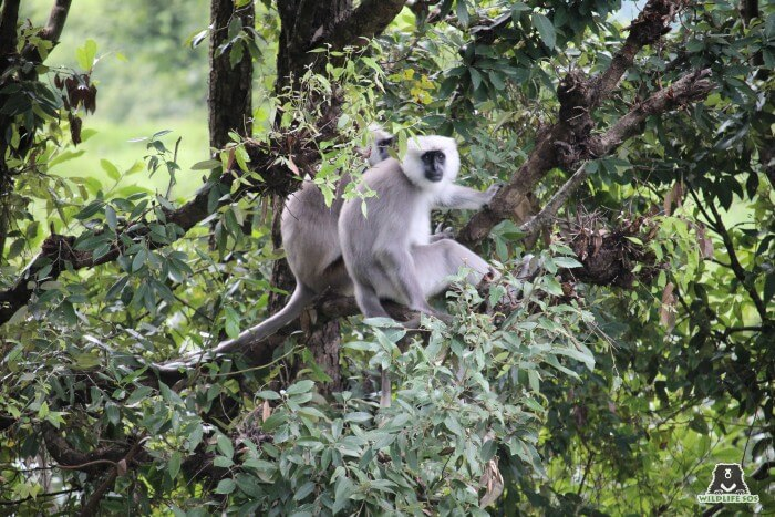 Gray Langurs are poached from the wild to chase monkeys away from urban dwellings.