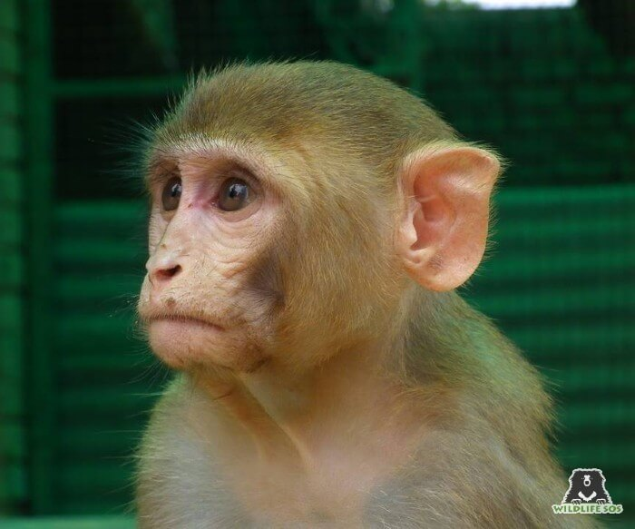 The Rhesus Macaque is found across the Asian subcontinent, due to their highly adaptable nature.