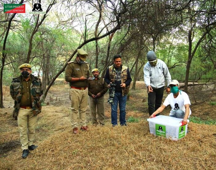 The pangolin being released under the supervision of Uttar Pradesh Forest Department.