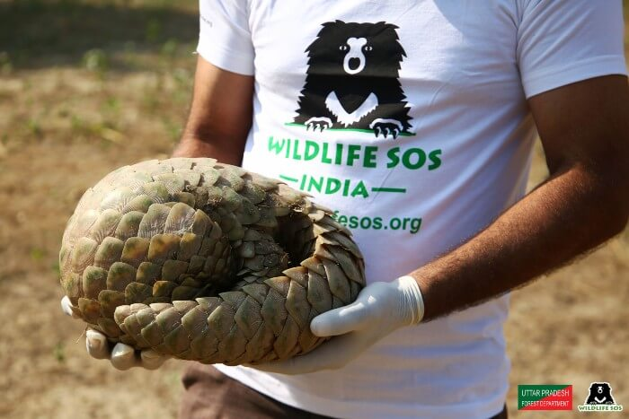 The pangolin was taken to the Wildlife SOS Transit Facility for medical check-up.
