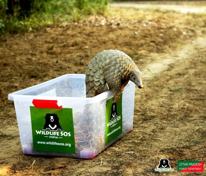 The pangolin carefully walking out of the safe-box into its natural habitat.