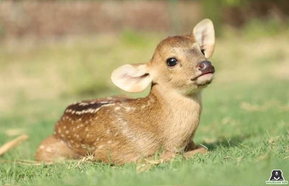 A baby hog deer rescued by WSOS from a case of human-wildlife conflict.