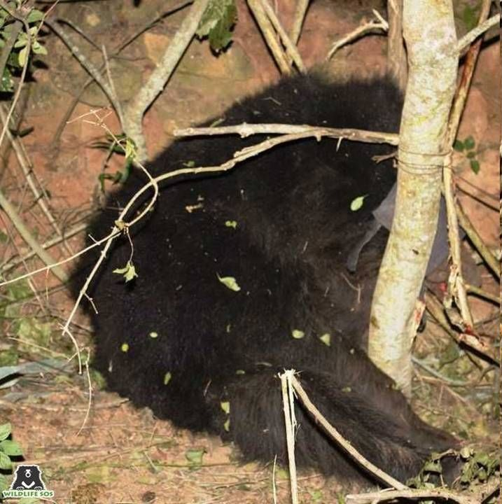 This sloth bear was rescued by Wildlife SOS after it had fallen prey to a snare trap.