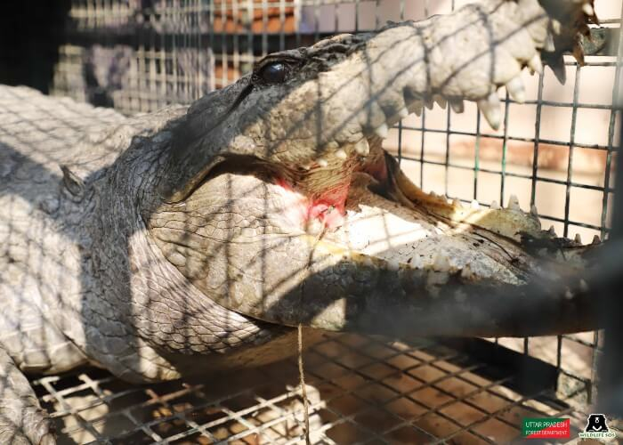 A mugger crocodile had a fish hook embedded in his upper jaw for which he received laser treatment.