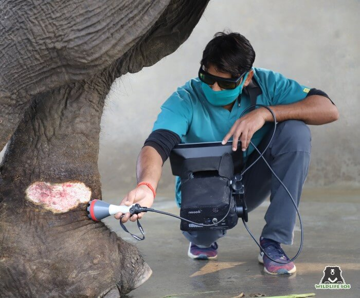 Rescued from Rajasthan, Jai suffers from infected spiked wounds for which he receives detailed laser therapy sessions.