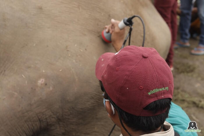 Our veterinarian, Dr. Pramod, using laser therapy for arthritic injuries for an ailing elephant in Rajasthan.