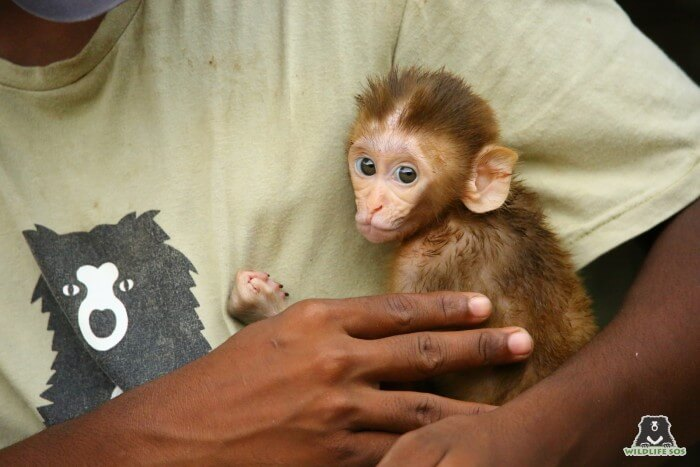 Wildlife SOS receives the highest number of calls for injured monkeys in Uttar Pradesh