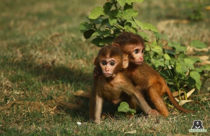 Monkeys even become victims of retaliatory killings by humans, leading to injury and even death