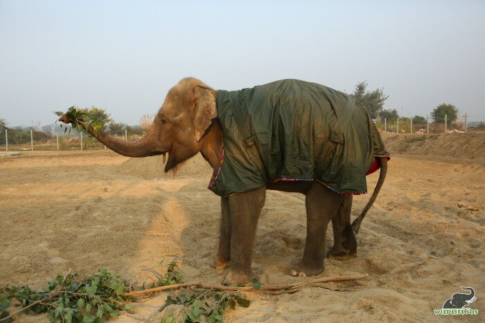 It is also Zara's first winters at the Wildlife SOS Field of Dreams!