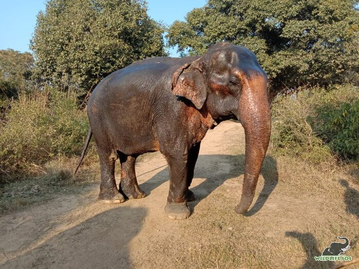 Rescued elephant Lily from ERC can be seen basking in the sun after a warm oil massage.