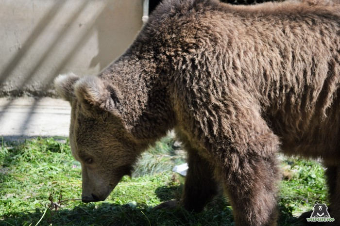 Our rescued Himalayan brown bear, Nawab, foraging on a snow-less patch of grass!