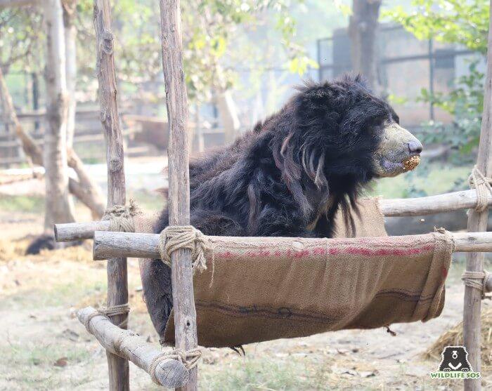 Ganesha bear gorging on some delicious jaggery, rice puff balls!