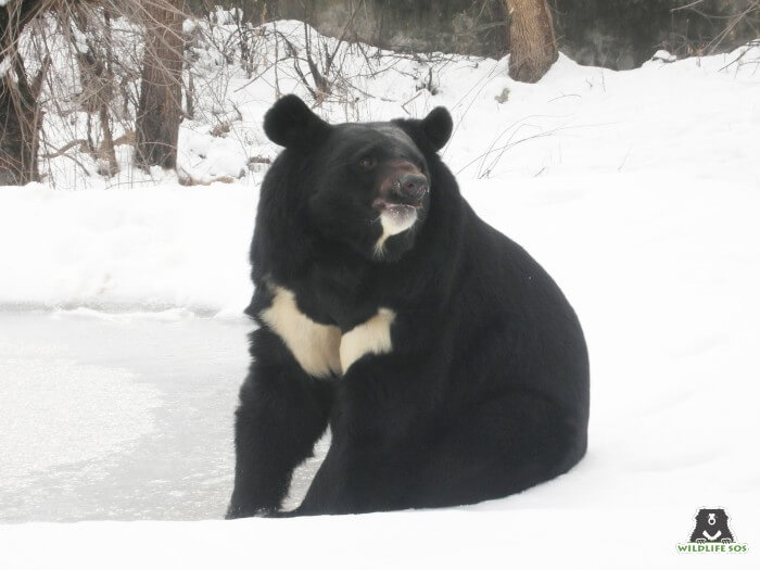 Sahib bear on a careful lookout for his caregiver who hides dates in the snow!