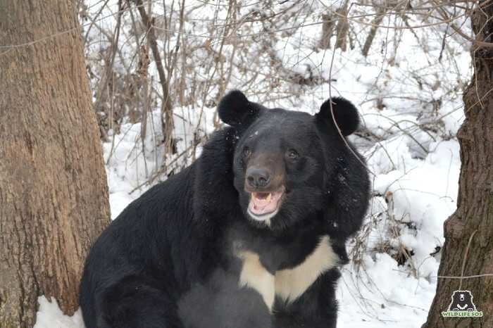 Our rescued bears are delighted at the sight of snow at the Rescue Centres in Kashmir valley.