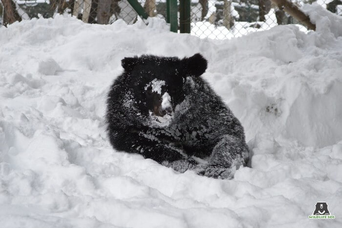 Rescued Asiatic black bear, Raja, enjoys a short snooze on the snow!