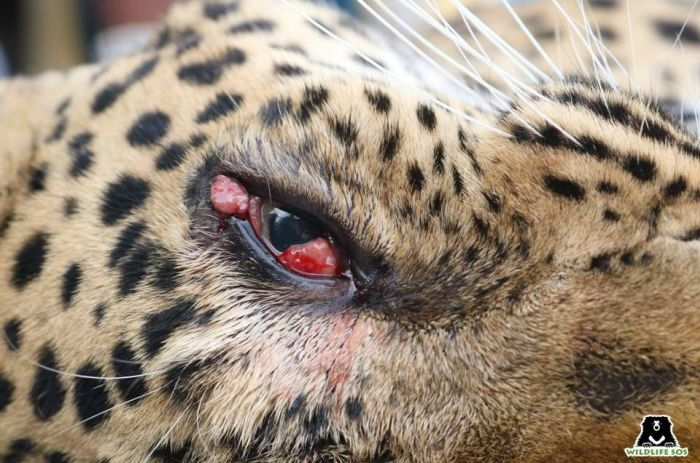 Uneven protrusions from Hema's eye were observed by the leopard care staff.