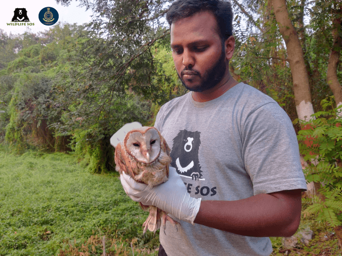After a short recuperation period, the barn owl was ready to return home!