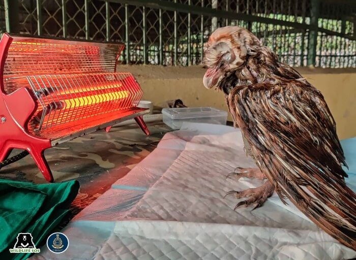 The barn owl was shivering in cold and was placed under artificial heating.