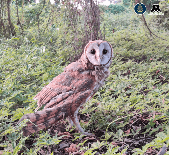 Initially hesitant, the barn owl eventually flew into the forest.